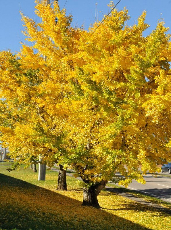 Gorgeous tree in fall with bright yellow leaves.