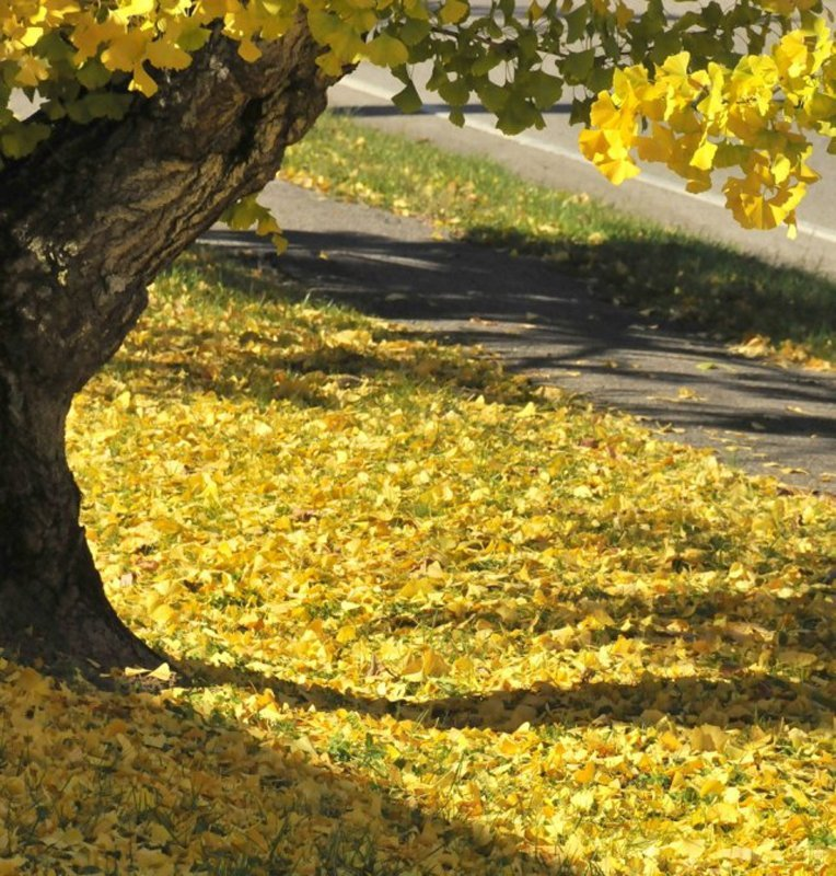 Bright yellow fan shaped leaves on ground and on branches.