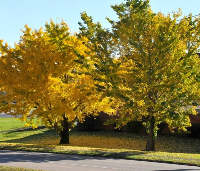 Brilliant yellow leaves on mature trees.