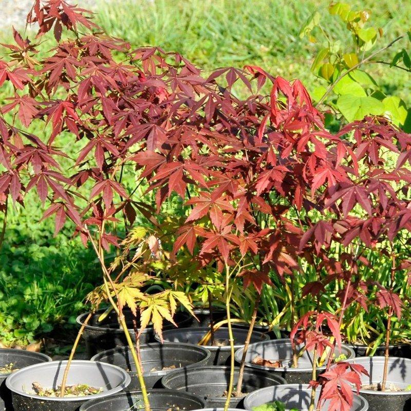 Dark red leaves of trees in black pots.