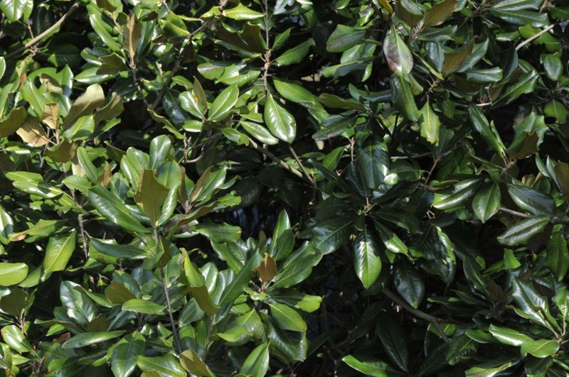 Green waxy leaves of mature Magnolia tree.
