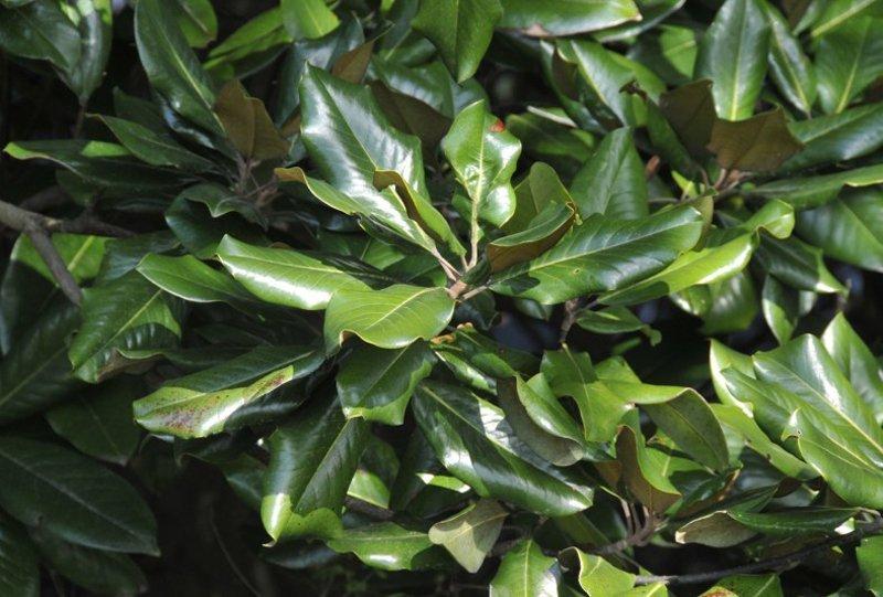 Waxy green leaves.