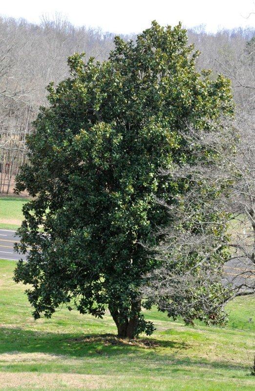 Mature magnolia tree in yard.