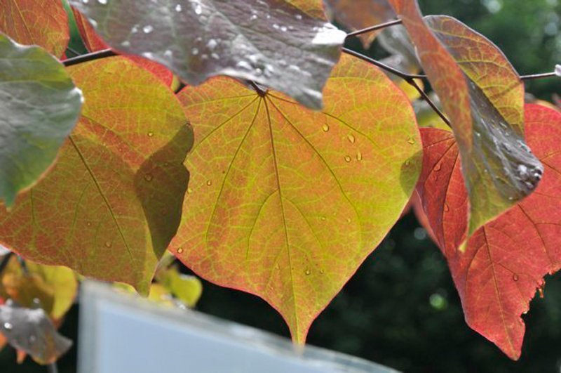 Orange, heart shaped leaves with water droplets on them.