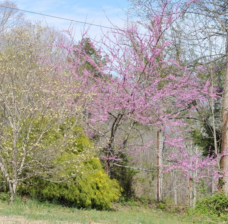 Purple blooms on trees in early spring.