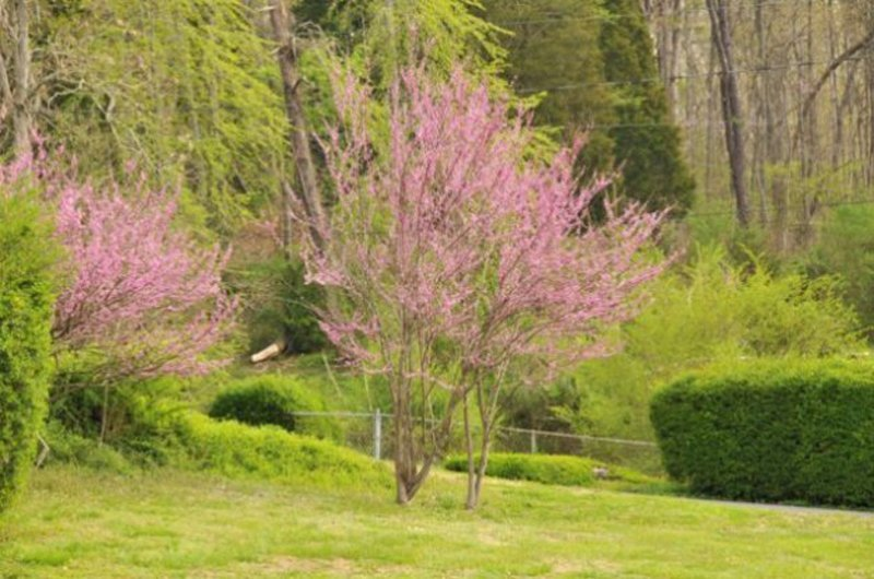 Mature trees with light purple blooms.