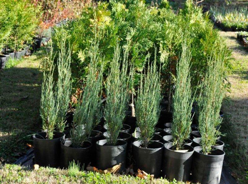 Tall bluish green trees in black pots.