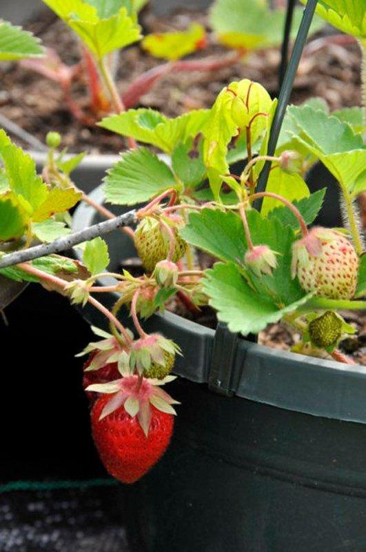 Strawberries on green plants.
