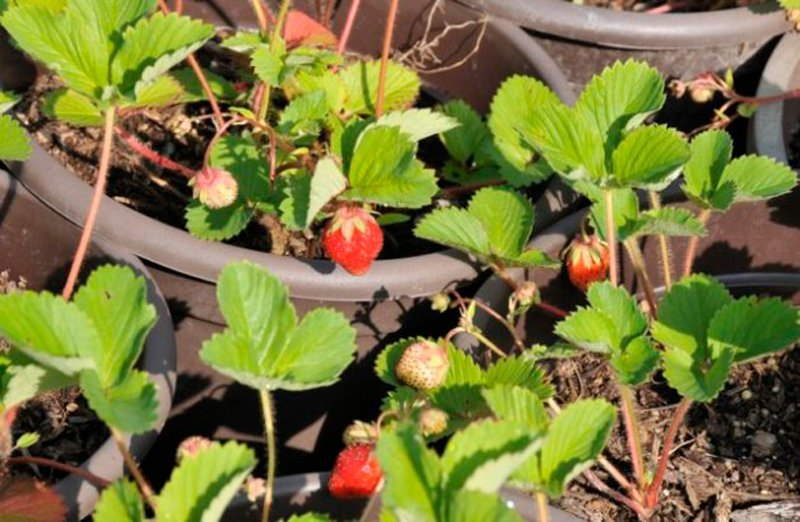 Green leaves and ripe strawberries.