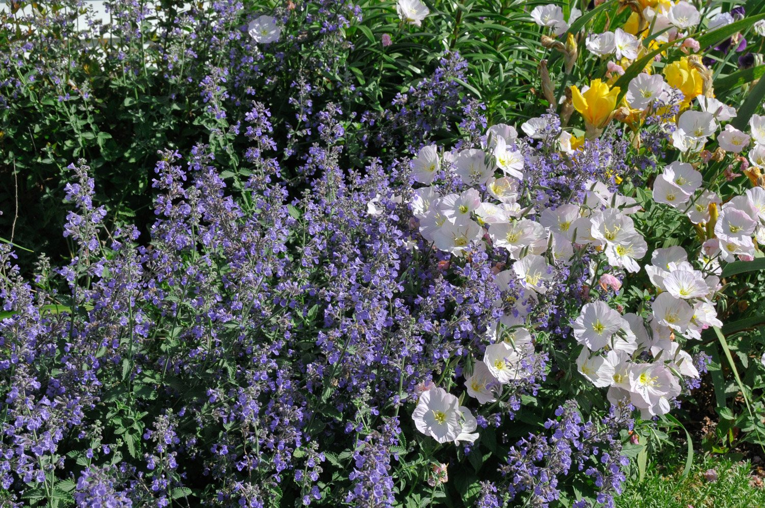 Blooming Catmint 'Walkers Low' intermingled with Primroses
