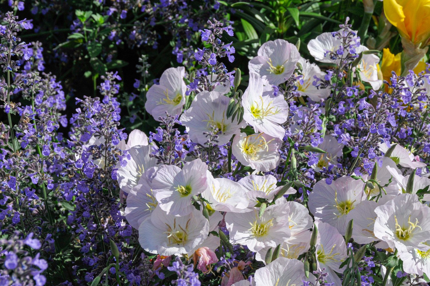 Blooming Pink Evening Primrose entwined with Catmint