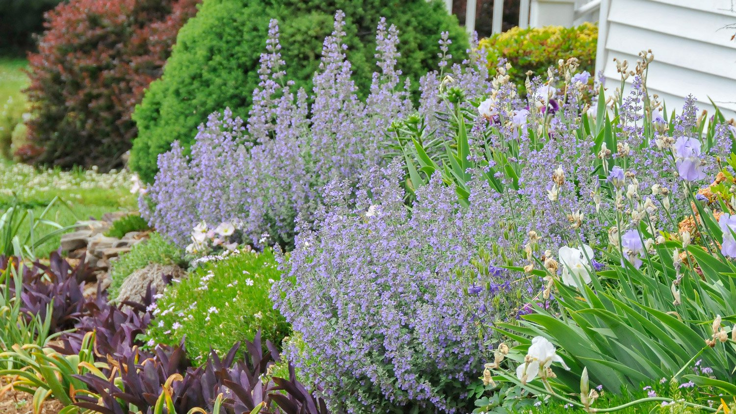 Catmint 'Walkers Low' blooming amid Iris