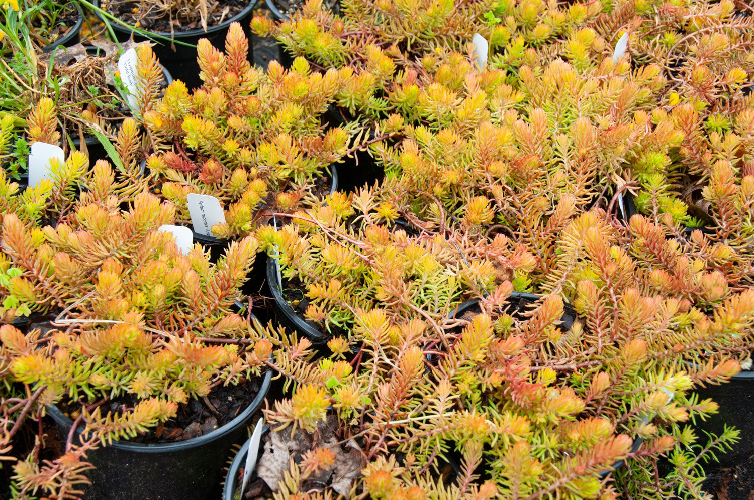 Coppery stems of Sedum 'Angelina' in cool weather