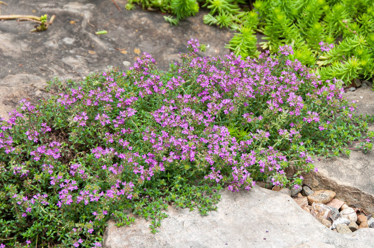 Creeping Thyme blooming between stepping stones