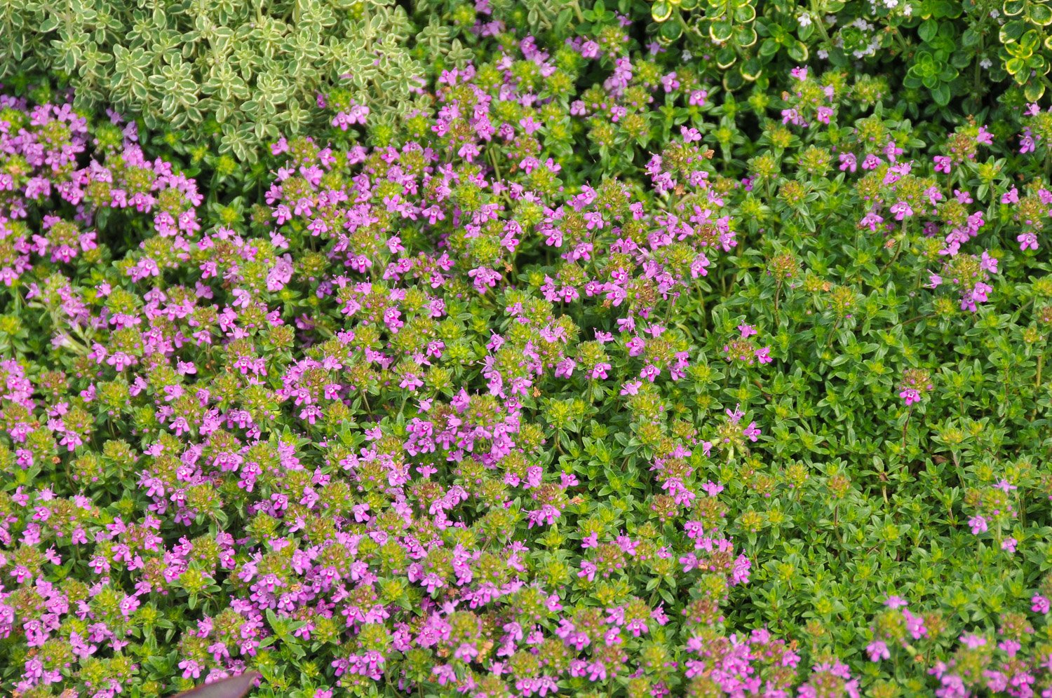 Tiny pink blooms of Creeping Thyme