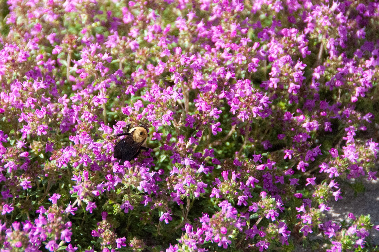 Bumblebee working on blooms of Creeping Thyme