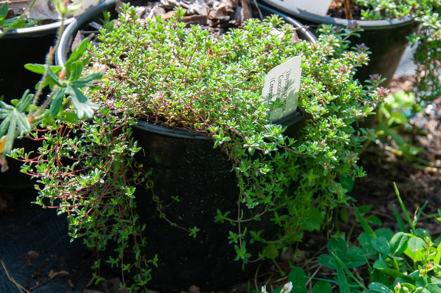 Creeping Thyme draping over edge of pot