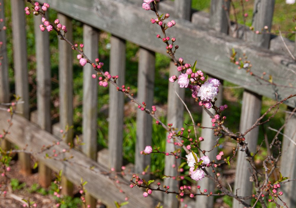 Pink buds and blooms of Flowering Almond against gray picket fence