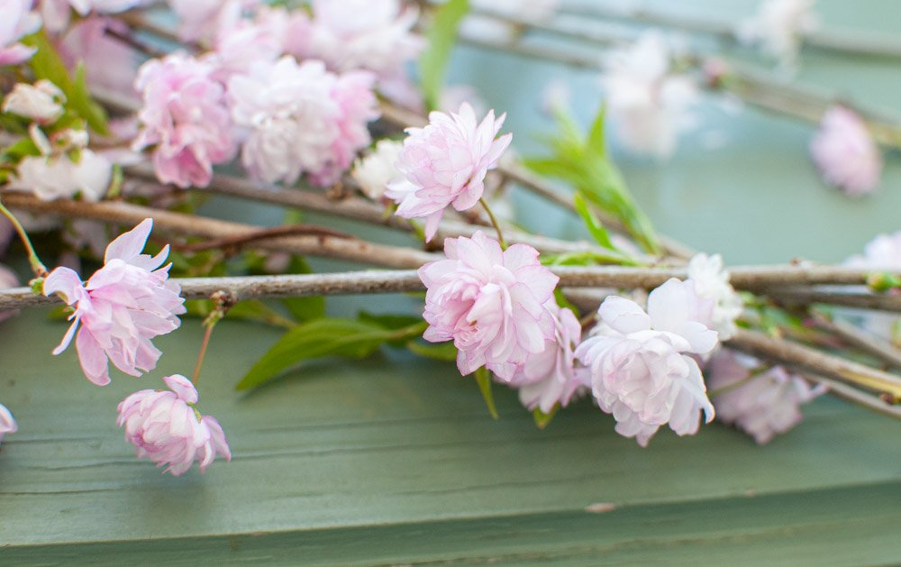 Blooming branches of Flowering Almond gathered for a bouquet