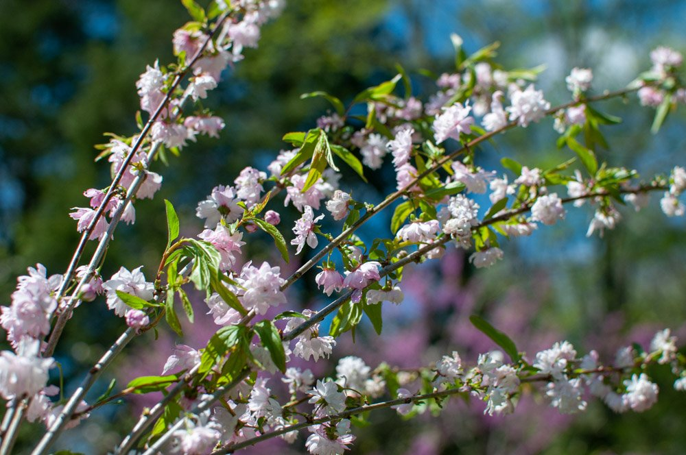 Branches of Flowering Almond in soft pink bloom