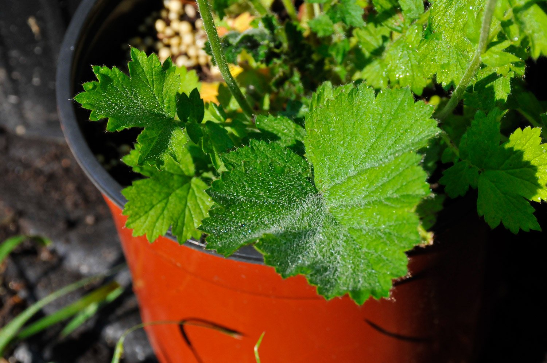 Fuzzy leaf of Geum 'Bloody Mary'