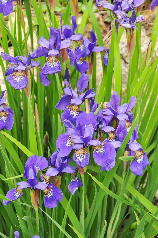 Group of purple Siberian Iris in bloom
