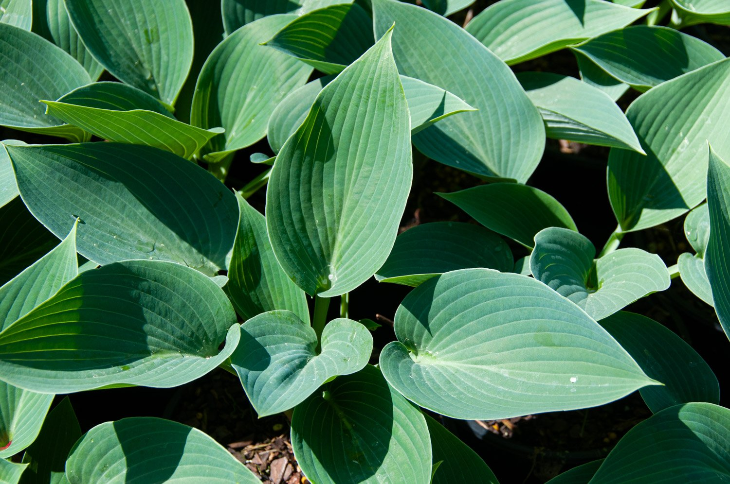 Hosta 'Halcyon' has bluish green ribbed leaves
