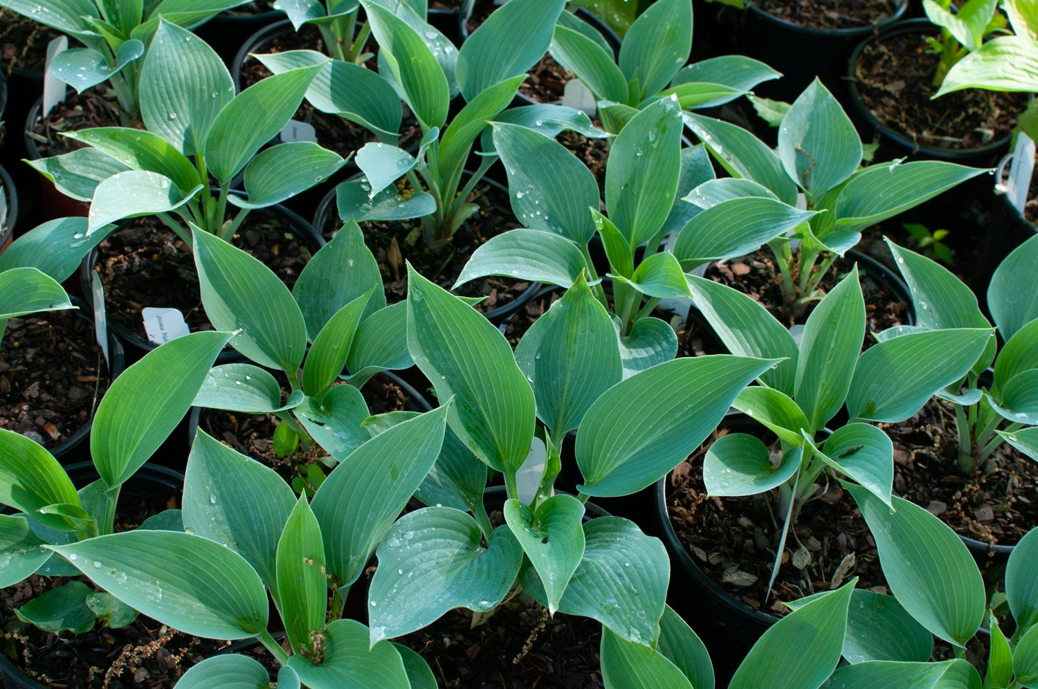 Hosta 'Halcyon' with water droplets on ribbed leaves