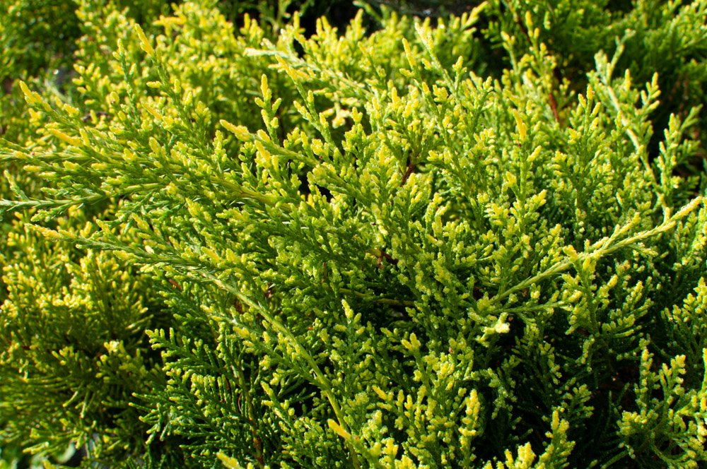 Closeup of gold tipped new growth on Juniper 'Old Gold'