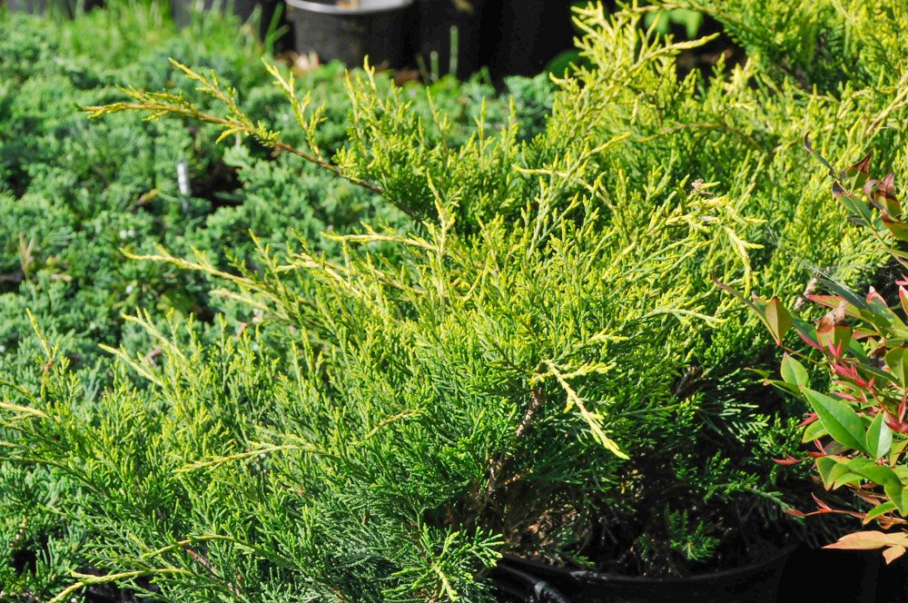 Sunny gold tipped branches of Juniper 'Old Gold'