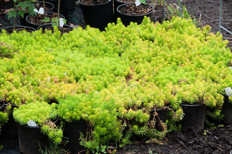 Lime green Sedum 'Angelina' spilling over edges of black pots