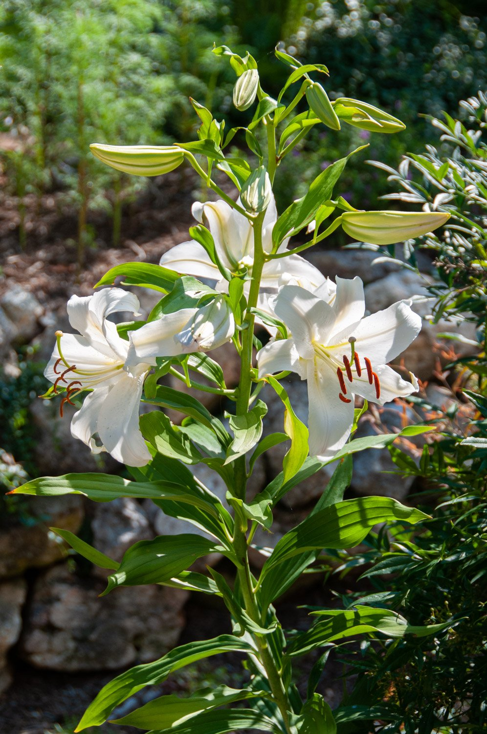 White trumpet blooms of Oriental Lily 'Casa Blanca' held on a tall, sturdy stalk
