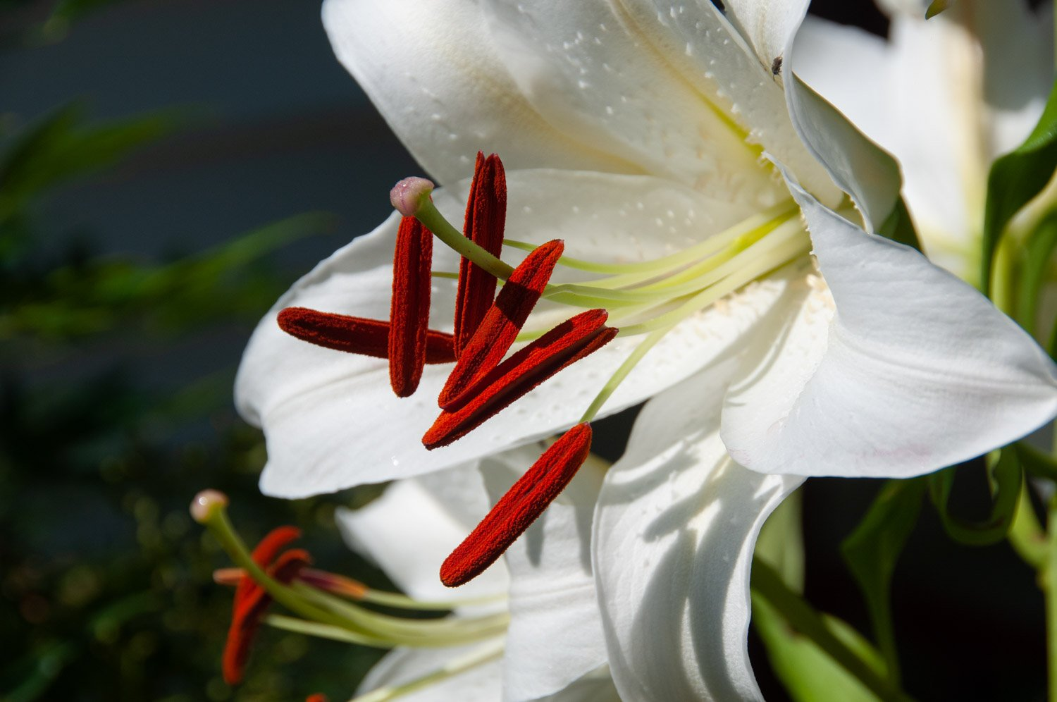 Closeup white bloom of an Oriental Lily 'Casa Blanca' with red pollen anthers