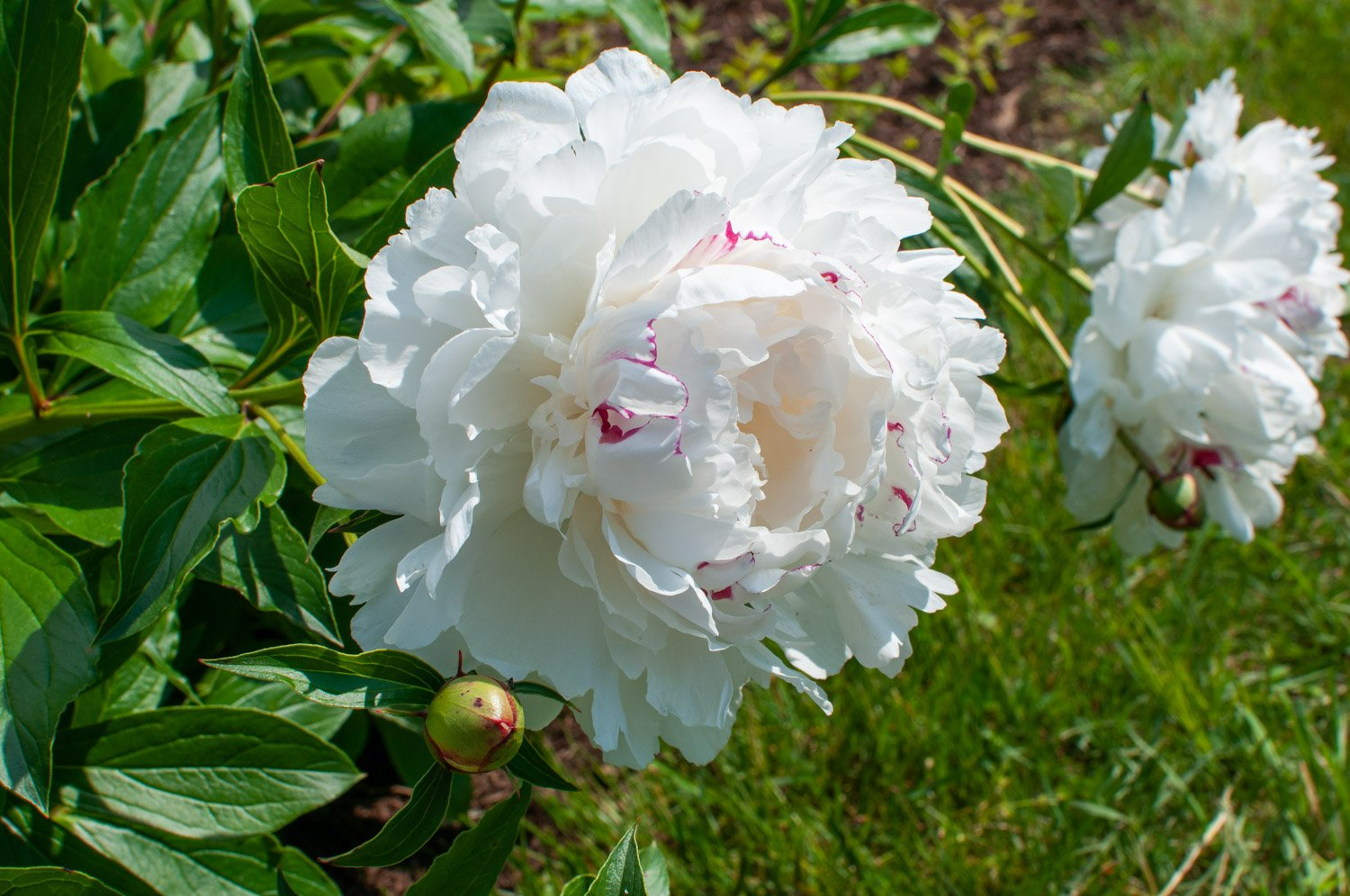 Peony 'Festiva Maxima' white bloom with pink swirls