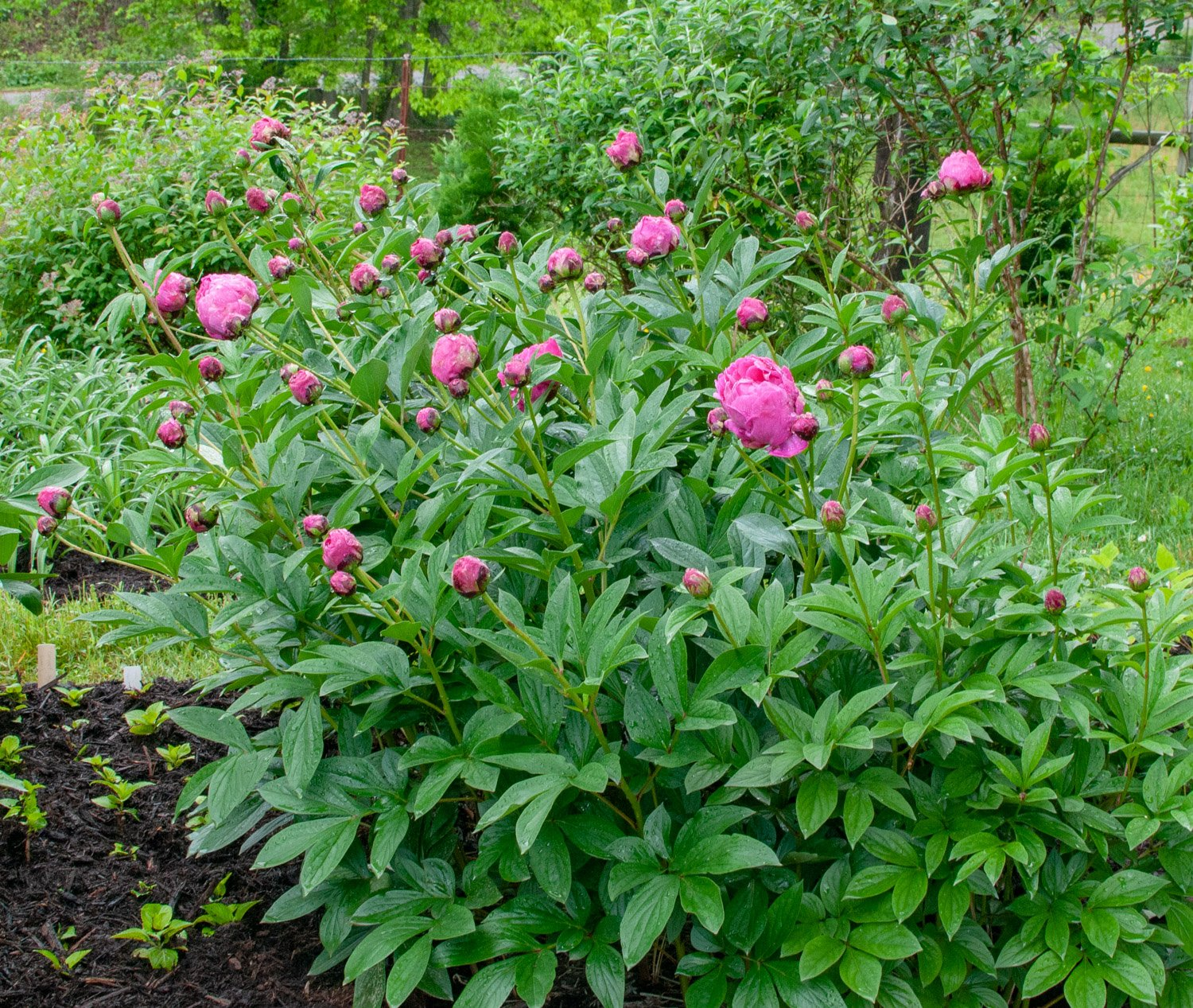 Bed of pink Peony 'Karl Rosenfeld' starting to bloom