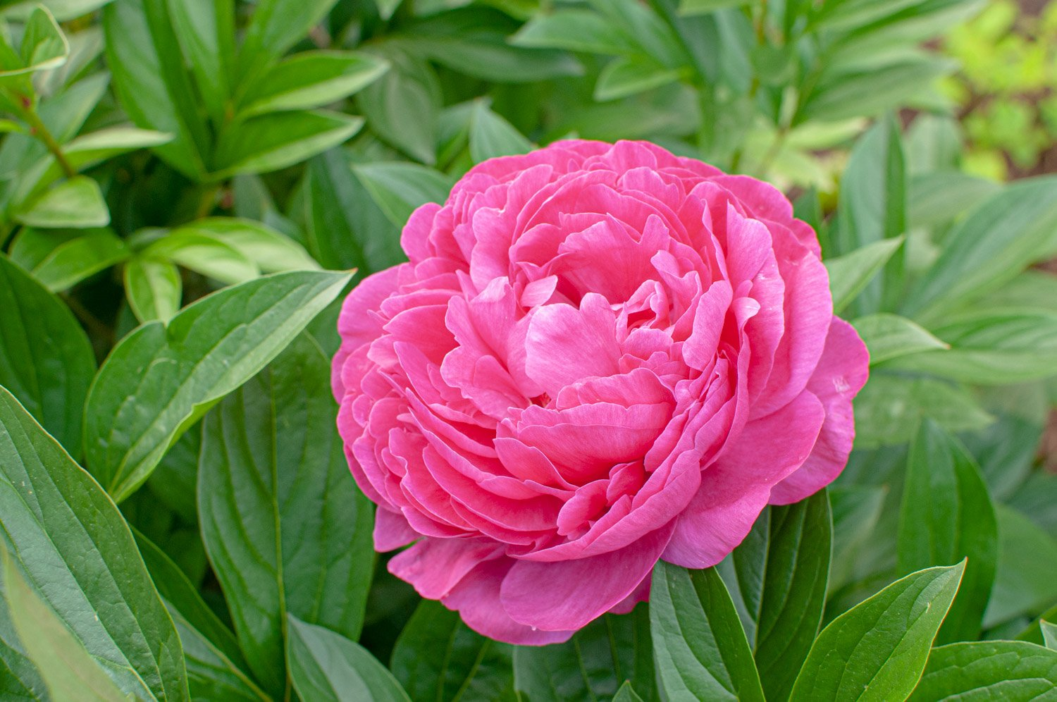 Multi-petal pink bloom of Peony 'Karl Rosenfeld'
