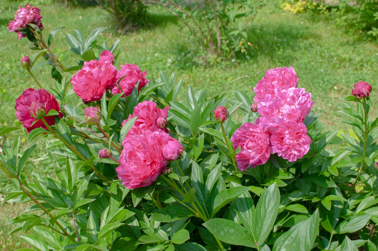 Ruffled, pink blooms of Peony 'Karl Rosenfeld'