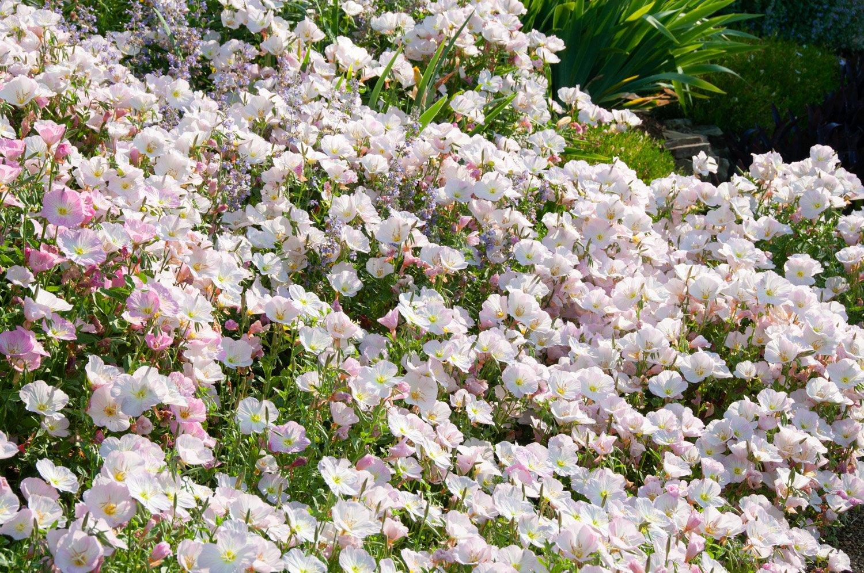 Pink Evening Primrose drift of blooms