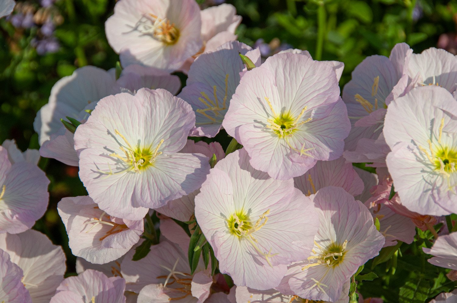 Pink Evening Primrose with sunny yellow centers