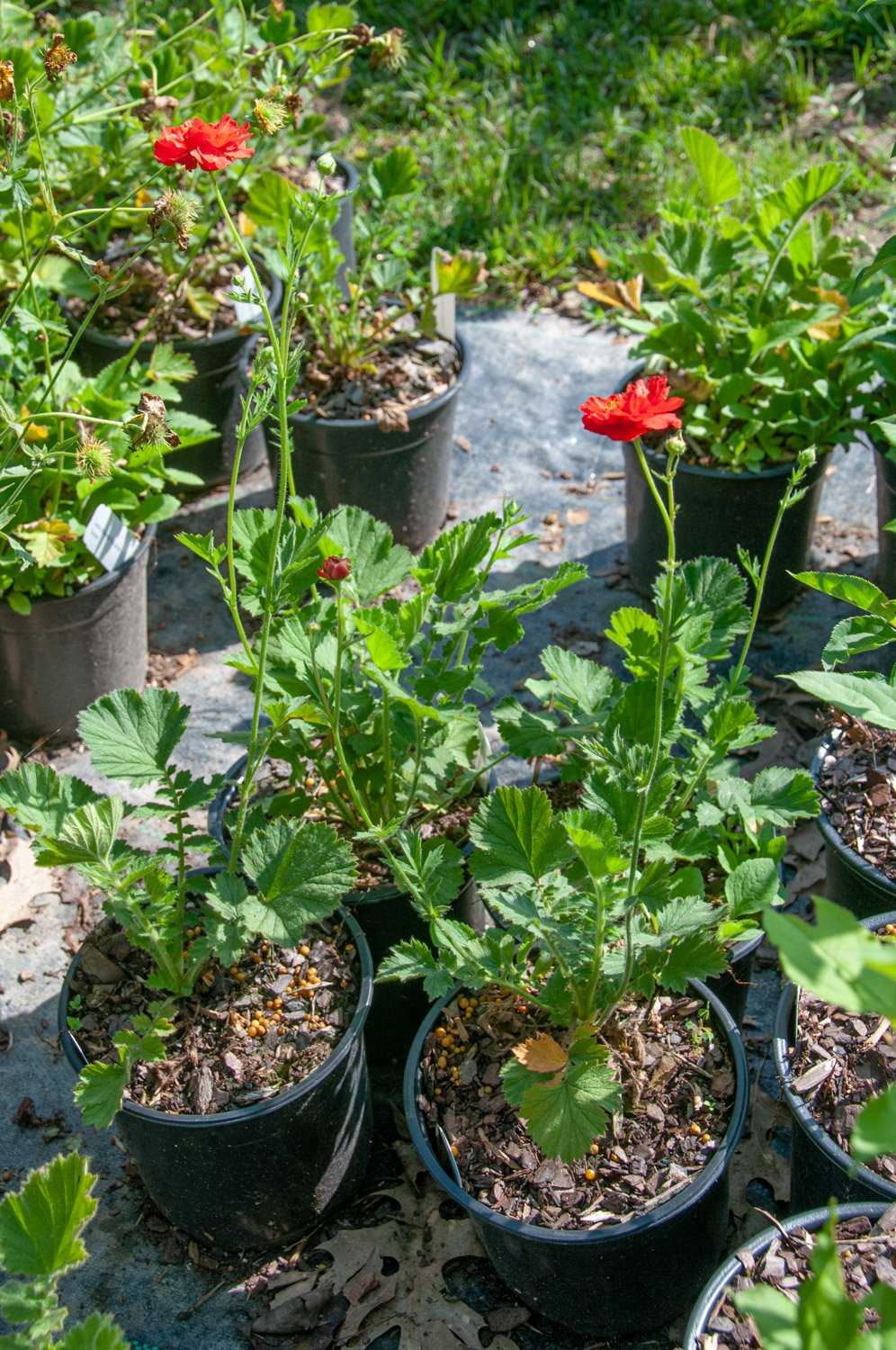 Red blooms of potted Geum 'Bloody Mary'
