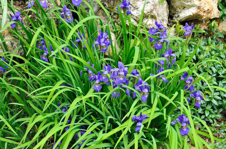 Clump of purple Siberian Iris in bloom