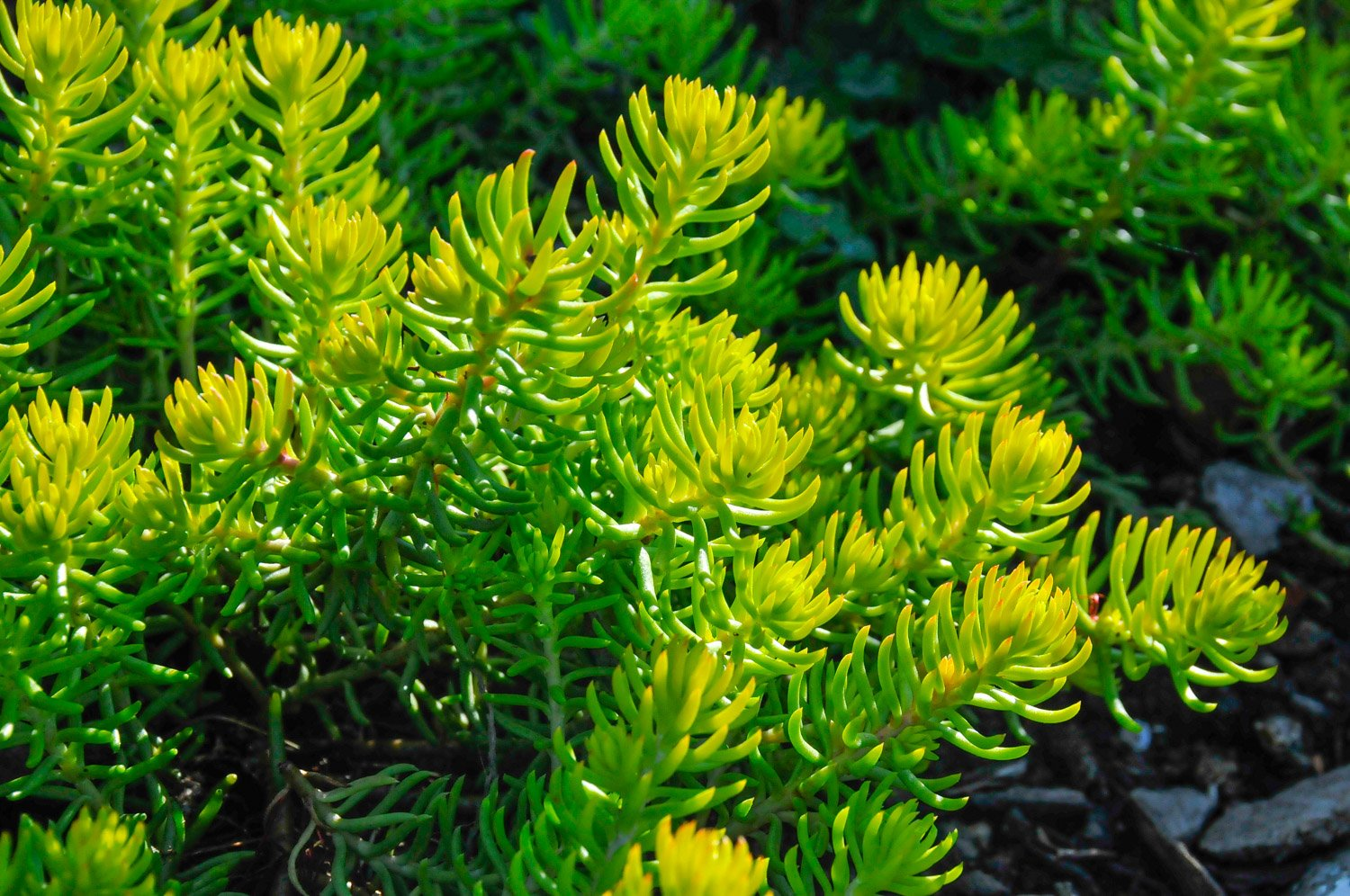Sturdy little stems of Sedum 'Angelina' are yellow-green in the sun