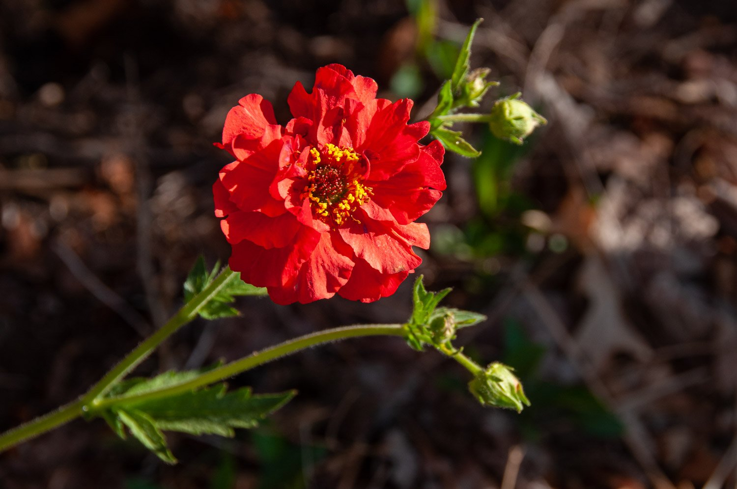 Sunny bloom and buds of Geum 'Bloody Mary'