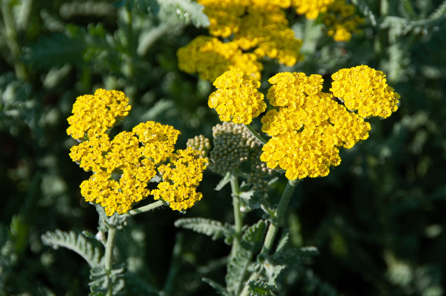 Multiple tiny yellow flowers make up a bloom of Yarrow 'Moonshine'