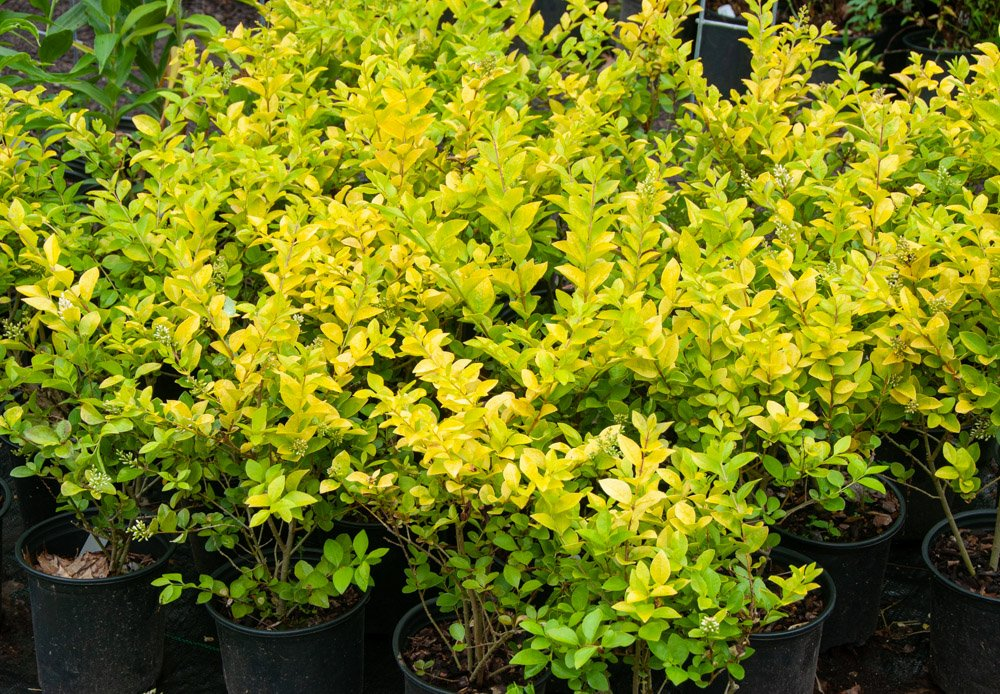 Bright yellow-green leaves of Golden Vicary Privet