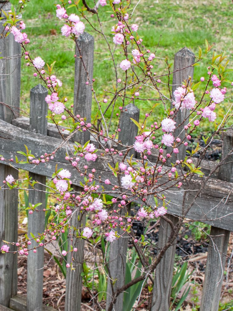 Pink blooms of Flowering Almond in front of wood picket fence