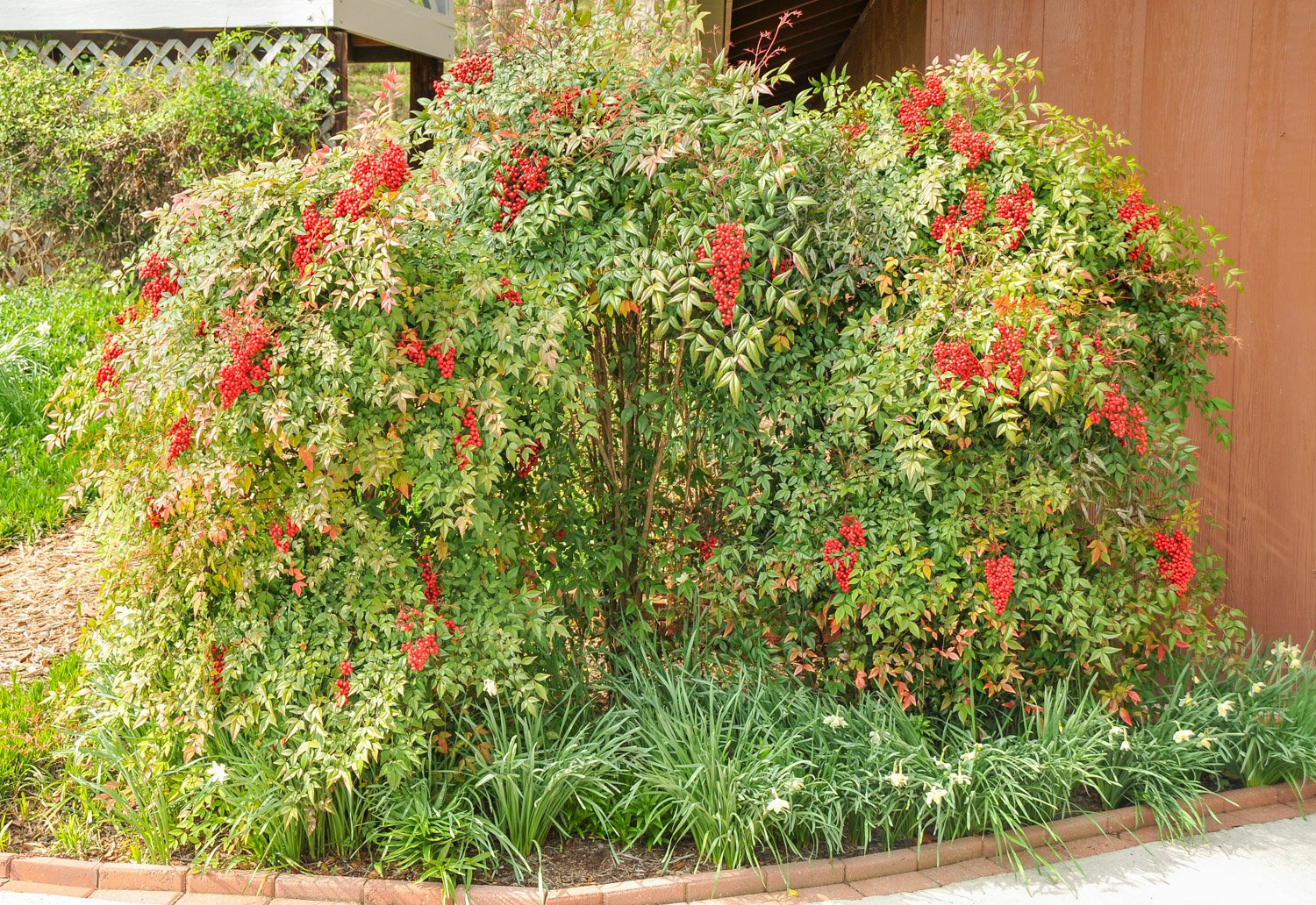 Clusters of red berries on mature Nandina shrubs
