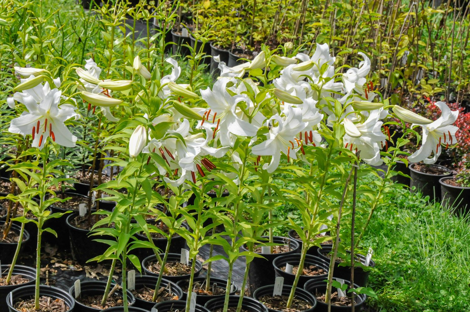 Group of potted Oriental Lilies, 'Casa Blanca' in buds and blooms