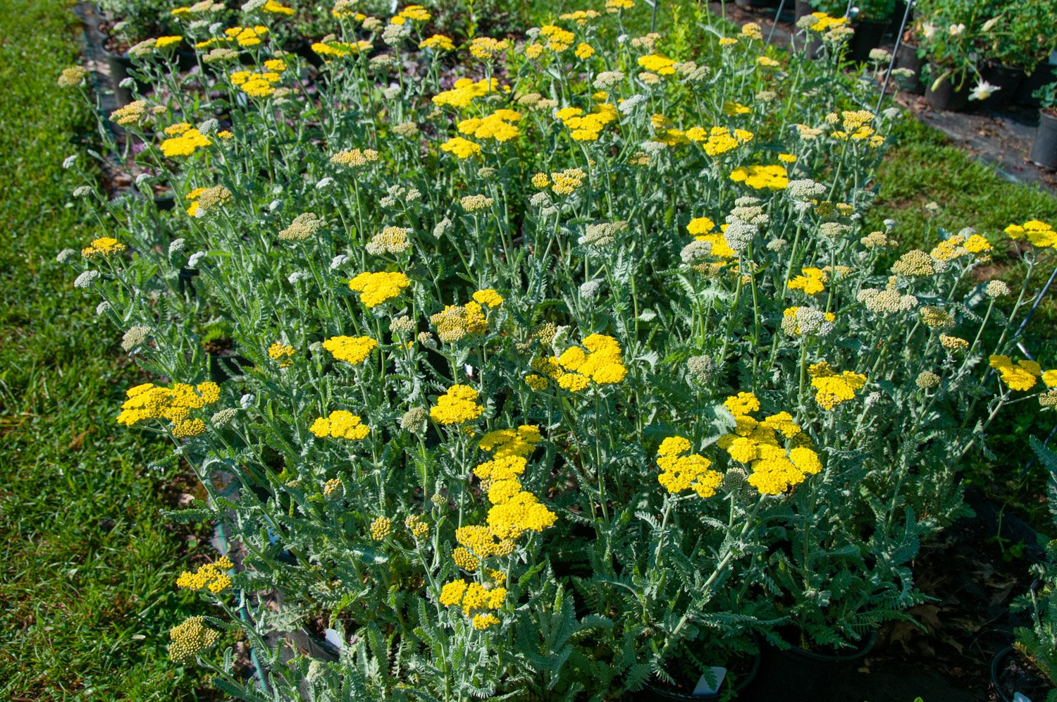 Potted Yarrow 'Moonshine' with yellow blooms