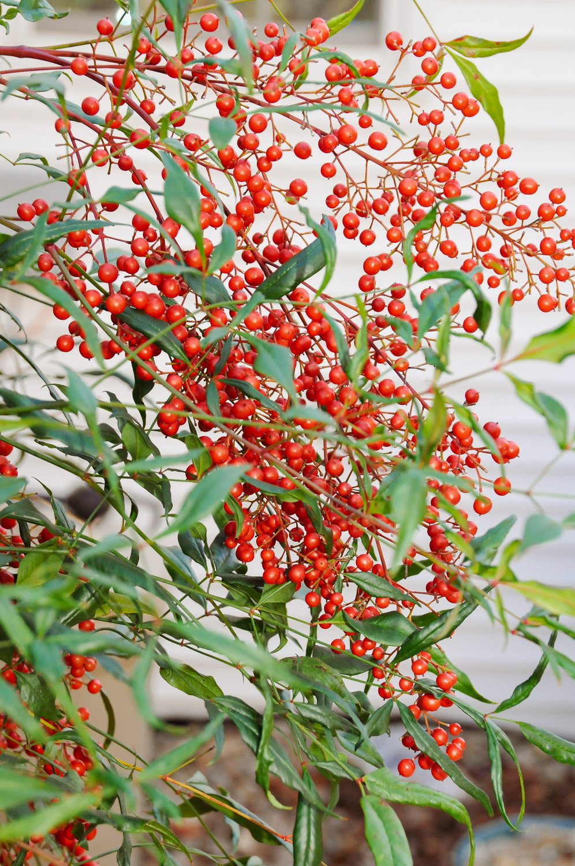 Spray of red Nandina berries